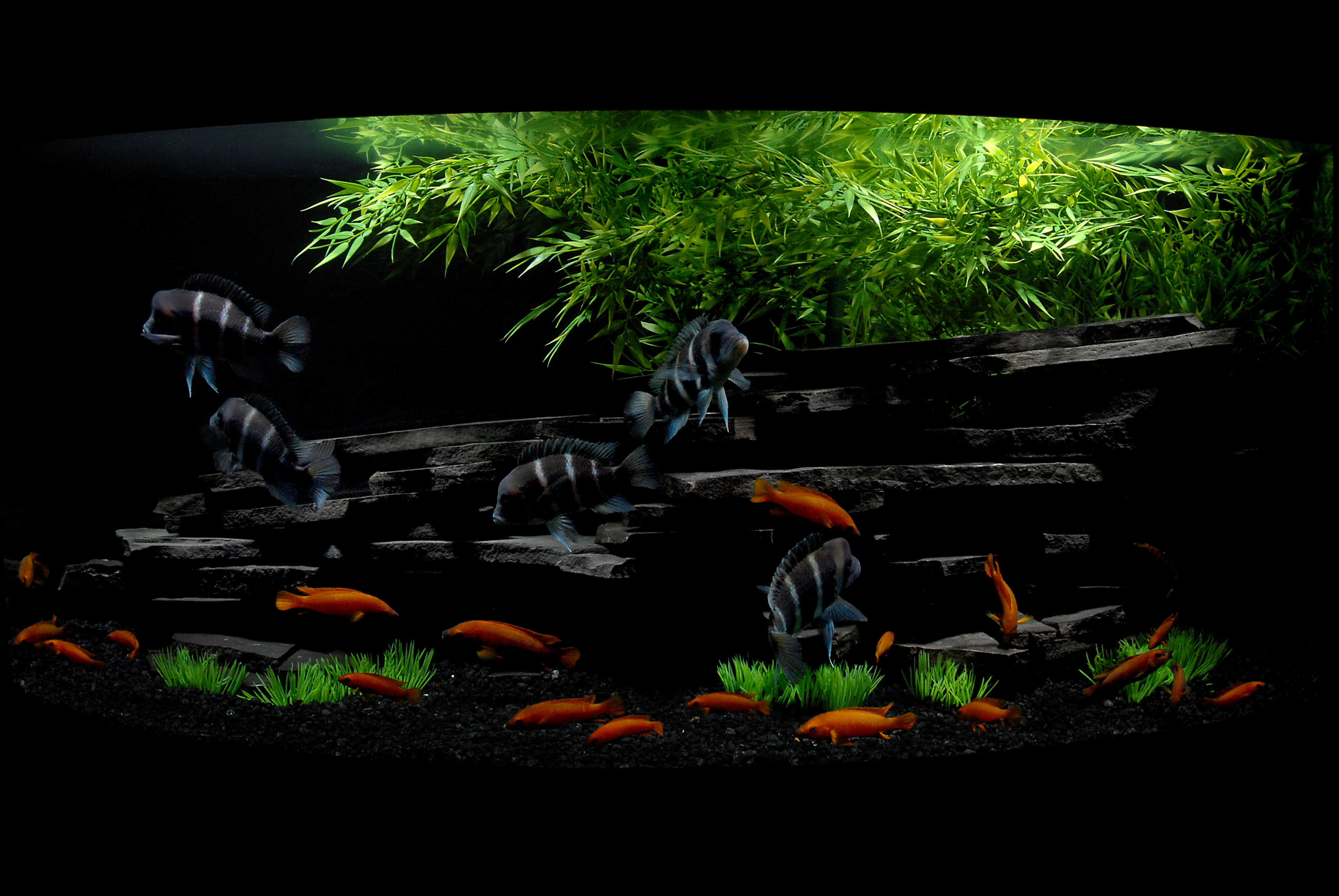 Related posts to african cichlid tank design